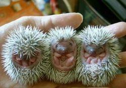 Porcupine_babies