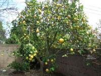 レモンの木の下で
