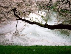 Imperial-palace-cherry-blossom_13295_990x742